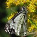 Moth - Neophasia menapia