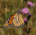 Monarch on Liatris aspera - Danaus plexippus