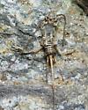 Jumping Bristletail - Petridiobius arcticus