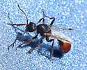 Carpenter Ant? - Pogonomyrmex occidentalis - male