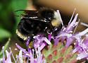 Take #2:Bombus californicus? - Bombus californicus - female