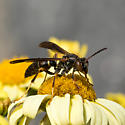 Wasp? - Polistes fuscatus - female