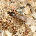 Lasius emergence - Lasius neoniger - female