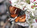 moth on pussypaws - Gyros muirii
