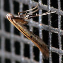 Stumpy Moth - Caloptilia violacella