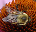 Which bumblebee species? - Bombus griseocollis