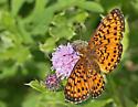 Butterfly - Fritillary type? - Boloria selene