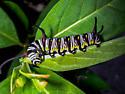 Queen Butterfly caterpillar - Danaus gilippus
