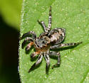 Jumping Spider - Naphrys pulex