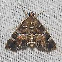 Spotted Beet Webworm Moth - Hodges#5169 - Hymenia perspectalis