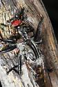 Robber Fly Diptera Asilidae  - Efferia aestuans