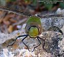 Amazon Darner - Anax amazili - male