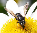 Crabronidae - Bicyrtes quadrifasciatus
