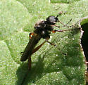 Fly ID Request - Bibio - male