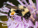 Large Bumble Bee - Bombus affinis - female