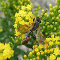 Grass-carrying Wasp - Isodontia elegans