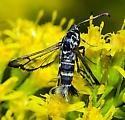 sesiid moth on goldenrod - Carmenta tecta - female