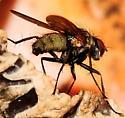 Root-Maggot Flies Hydrophoria lancifer Male - Hydrophoria lancifer - male