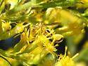 Small Wasp - Conura