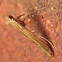 Sassafras Caloptilia Moth - Hodges#0633 - Caloptilia sassafrasella