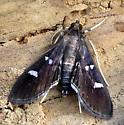 small moth - Desmia