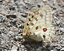 white butterfly with red spots - Parnassius smintheus