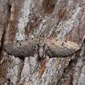 910426Eupithecia absinthiata - Eupithecia