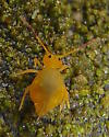 Yellow Globular Springtail  - Dicyrtoma flammea