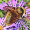 Bee sp? - Bombus pensylvanicus
