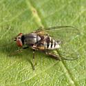 Platypezid - Platypeza anthrax