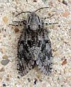 A  Carpenterworm Moth   (Prionoxystus robiniae)    Hodges #2693 - Prionoxystus robiniae