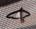 Fancy Moth - Diaphania hyalinata
