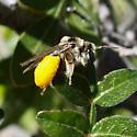 Bee on Rhus microphylla - Exomalopsis