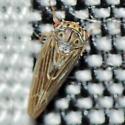 Leafhopper - Agalliopsis peneoculata