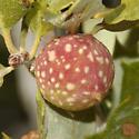 Disholcaspis plumbella