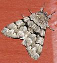 Panthea pallescens - Panthea furcilla