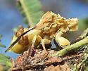 Ambush bug  - Phymata