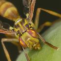 Papaya Fruit Fly - Toxotrypana curvicauda - female
