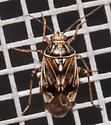 Tropidosteptes? - Lygus lineolaris
