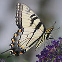 Confirm Papilio glaucus: male or female? - Papilio glaucus - male