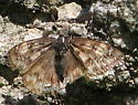 Unknown Butterfly - Erynnis - female