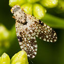 Fly With Spotted Wings - Campiglossa albiceps