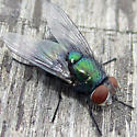 Common Green Bottle Fly - Lucilia - female