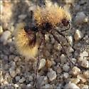 Is this Dasymutilla sackenii? - Dasymutilla - female