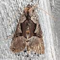Large Looper Moth - Autographa ampla