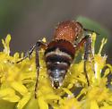 Timulla sp.? any chance of species? - Timulla dubitata - female