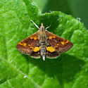 Orange-spotted Pyrausta - Pyrausta orphisalis