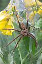 Unknown Nursery Web Spider - Dolomedes vittatus - female