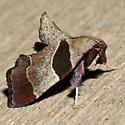 Tosale oviplagalis - female