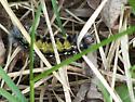 unkown caterpillar - Ctenucha virginica